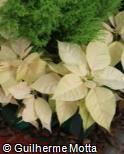 (EUPU8) Euphorbia pulcherrima ´Freedom White´