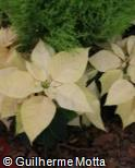 Euphorbia pulcherrima ´Freedom White´