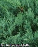 Juniperus virginiana ´Glauca´