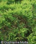Juniperus horizontalis ´Golden Carpet´