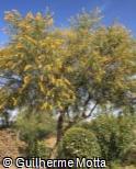 Acacia saligna