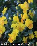 Viola × wittrockiana ´Sorbet Yellow Delight´