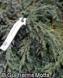 Juniperus squamata ´Blue Carpet´