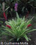 Aechmea gamosepala ´Lucky Stripes´