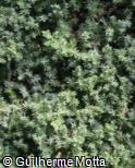 Juniperus procumbens ´Nana´