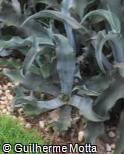 Agave gypsophila