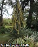 Vriesea extensa