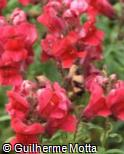 Antirrhinum majus ´Floral Showers Crimson´