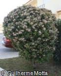 Viburnum tinus ´Anvi´