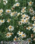 Argyranthemum foeniculaceum ´Donington Hero´