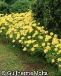 Argyranthemum frutescens ´Ulyssis´