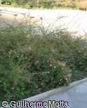 Abelia x grandiflora ´Compacta´