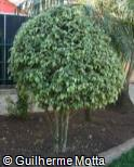 Ficus benjamina ´Variegata´