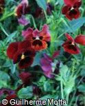 (VIWI28) Viola x wittrockiana ´Mammoth Big Red´