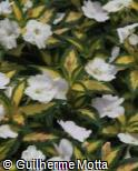 Impatiens  ´Sunpatiens Spreading Variegated White´