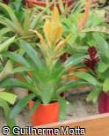 Vriesea  ´Golden Rocket´