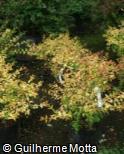 Abelia x grandiflora ´Aurea´