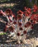 Aeonium arboreum ´Atropurpureum´