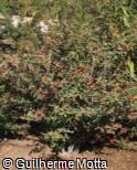 Berberis hookeri