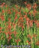 Chasmanthe floribunda