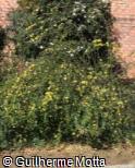 (JANU) Jasminum nudiflorum