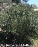 (EUXY) Euphorbia xylophylloides
