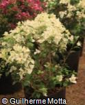 Bougainvillea glabra ´Carpet White´