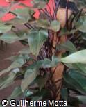 Philodendron  ´Rojo Congo´