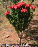 Euphorbia pulcherrima ´Winter Rose Early Red´