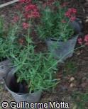 Centranthus ruber ´Coccineus´