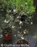 (SOLA) Solanum laxum ´Album´
