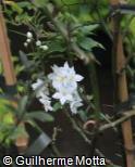 Solanum laxum ´Album´