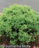 Cryptomeria japonica ´Monstrosa Nana´