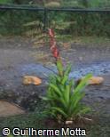 Vriesea philippocoburgii