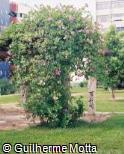 Bignonia magnifica