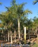 Gaussia maya