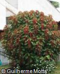 Acalypha hispida