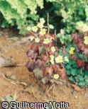 Oxalis hedysaroides