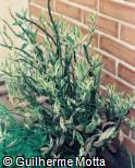 Euphorbia tithymaloides ´Variegatus´
