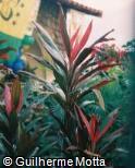 Cordyline fruticosa ´Maria´