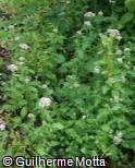 Centranthus calcitrapa