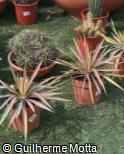 Yucca filamentosa ´Color Guard´