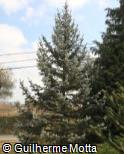 Picea pungens ´Koster´