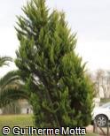 Cupressus macrocarpa ´Lutea´