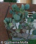 Opuntia littoralis