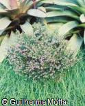 Cuphea gracilis