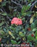 Ixora chinensis