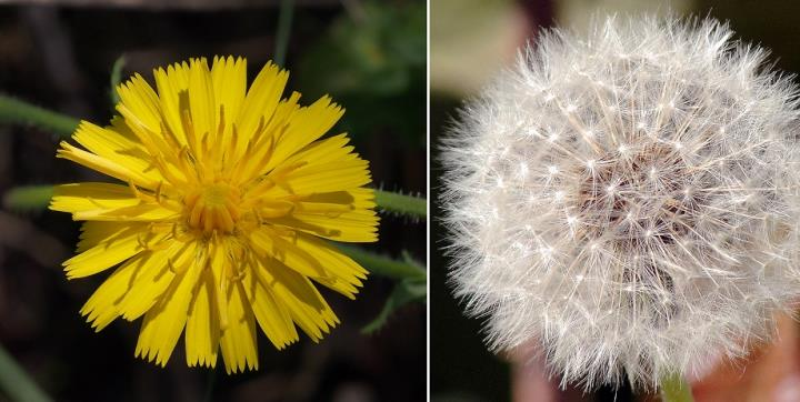 dente-de-leão (Taraxacum officinale)
