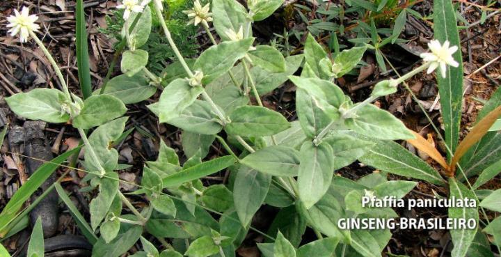 Ginseng Brasileiro Pfaffia paniculata