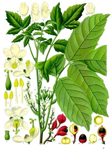 Guaraná Paullinia cupana